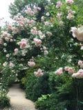 Klart fastställt bröllop Rosa ingiven gångbana royaltyfria foton