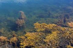 Klart havsvatten nära kusten med alger, den lilla fisken och havsväxt arkivbild
