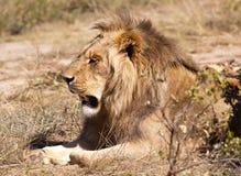 Klassische männliche Löwehaltung Lizenzfreie Stockfotografie