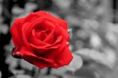 Klassische rote Rose Stockfotografie