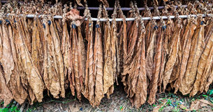 Klassische Weise des Trocknens des Tabaks in der Scheune stockfotos