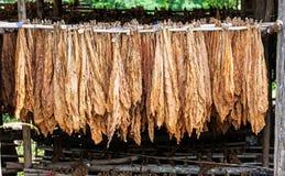 Klassische Weise des Trocknens des Tabaks in der Scheune lizenzfreie stockfotografie