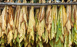 Klassische Weise des Trocknens des Tabaks in der Scheune lizenzfreie stockbilder