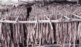 Klassische Weise des Trocknens des Tabaks in der Scheune lizenzfreies stockbild