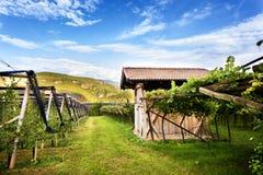 Klassisk överman DOC Kalterersee för sjöCaldaro vingård, nära sjön Caldaro Bolzano italy royaltyfria bilder