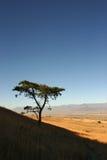Klassisk afrikansk akacia på backen med fält och bergskedja i avstånd royaltyfri foto