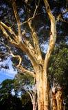 Klassisk Autralian blek eukalyptusträd i Melbourne Arkivfoto