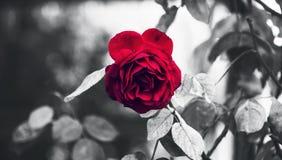 Klassisk perfekt trädgård röda Rose And Thorns i regn som markeras med svartvitt begreppsmässigt royaltyfri foto