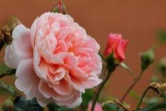 Klassisk rosa färgros & budbud Arkivfoto