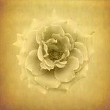 klassisk rosewhite för bakgrund Royaltyfri Foto