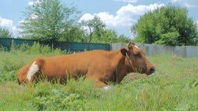 Klasyczna dojna krowa na paśniku pole wypasu bydła Krowy łasowania trawa na zielonej łące Zwierzęta gospodarskie, rolnictwo zdjęcie wideo