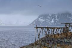 Klasyczne Drewniane słup budowy Robić dla dorsz osuszki procesu przy Lofoten wyspami w Norwegia Fotografia Stock