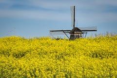 Klasyczny holenderski wiatraczek za polem kwiatonośny Rapeseed Brassica napus obraz stock