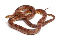 Klasyczny Kukurydzany wąż lub Czerwonego szczura wąż, Pantherophis guttatus obrazy stock