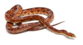 Klasyczny Kukurydzany wąż lub Czerwonego szczura wąż, Pantherophis guttatus zdjęcie royalty free