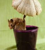 Klasyczny Złotego chomika zwierzę domowe Obrazy Royalty Free