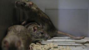 klatka szczury