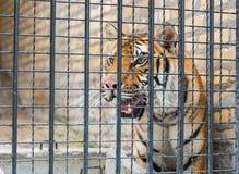 klatka tygrys zdjęcie royalty free