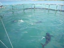 Klatki uprawiać ziemię tuńczyka żółtopłetwowy tuńczyk w zatoce krzywka Ranh w Wietnam fotografia stock