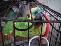 Klatkowa papuga obrazy royalty free