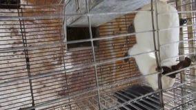 Klatkowi króliki, królik, zając zbiory