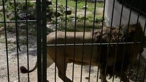 Klatkowy duży lew chodzi za barami w zoo zdjęcie wideo