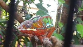 Klatkowy kameleon Obrazy Royalty Free