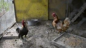 Klatkowy kogut i karmazynki w kurczak klatce na tradycyjnym wiejskim barm jardzie Złoty Phoenix kogut, kurczaki karmi w henhouse  zbiory
