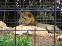 klatkowy lew Obrazy Stock