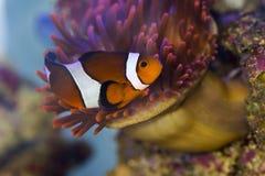 klaun anemonowy ryb morza Obraz Royalty Free