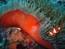 klauna tropikalne ryby Obrazy Stock