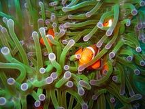 klauna tropikalne ryby Zdjęcia Stock