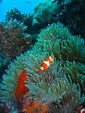 klauna tropikalne ryby Zdjęcia Royalty Free