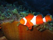 klauna tropikalne ryby Zdjęcie Stock