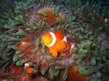 klauna tropikalne ryby Obraz Royalty Free