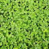 Klaver groen gras Royalty-vrije Stock Foto