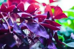 Klaver, Zuring, Oxalis-triangularis, houseplant van violette kleur stock afbeelding