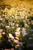 Klaverbloemen in stralen van de avondzon Stock Foto's