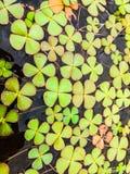 Klaverinstallatie en bloemblaadjes Stock Foto