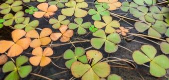 Klaverinstallatie in het water Royalty-vrije Stock Foto's