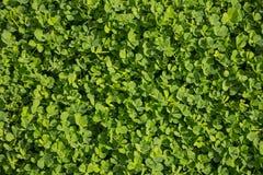 Klavers, klaver, klavers, verse flora Groene aardachtergrond Stock Foto's