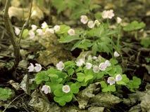 Klaverzuring, Oxalis-acetosella, het bloeien stock foto