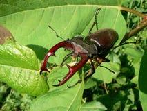 Klaxon-coléoptère Photos stock