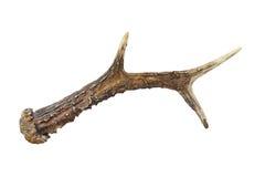 Klaxon de chevreuil mâle Images libres de droits