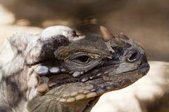 Klaxon de l'iguane trois Photos libres de droits