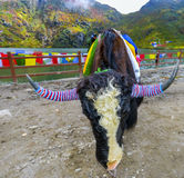Klaxon de yaks Photos stock