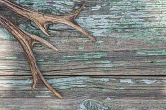 Klaxons de cerfs communs Photographie stock