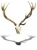 Klaxons de cerfs communs d'andouillers avec le crâne d'isolement au-dessus du blanc Photos libres de droits