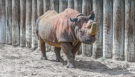 Klaxons de rhinocéros sciés Photos stock