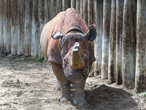 Klaxons de rhinocéros sciés dans l'arène arénacée Images libres de droits